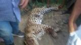 نمر يقتل فتاة ويلتهم جزءًا من جسدها في العياط